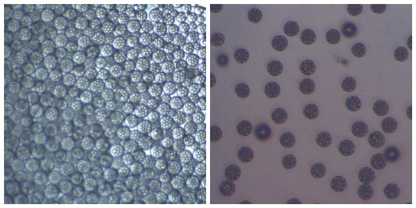 Optical microscopy image of PLGA beads encapsulating water droplets containing API before (left) and after drying (right)